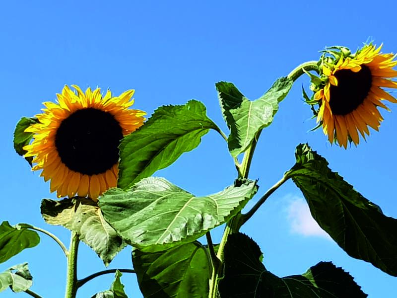 Rasen sähen nachdem hier Sonnenblumen wuchsen